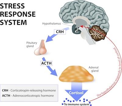 stress og hedeture